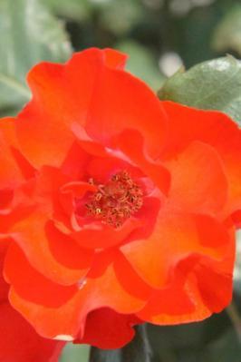 2012薔薇1