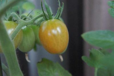0621トマト2