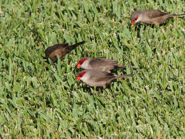 Common Waxbill-IMG_5334