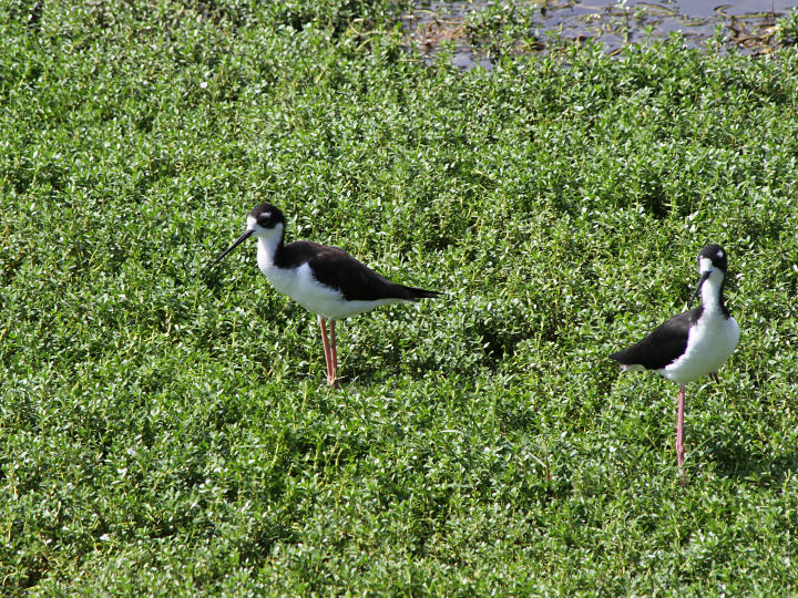 Hawaiian Stilt-IMG_4808