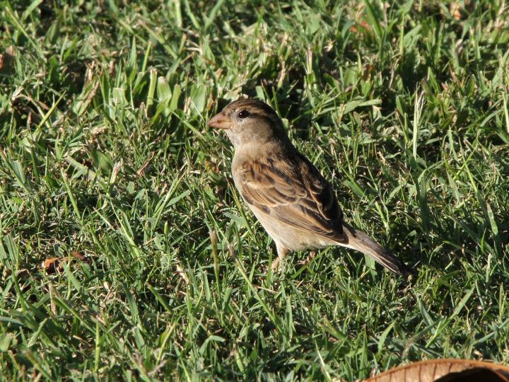 House Sparrow-IMG_5373