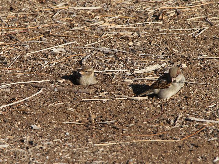 House Sparrow-IMG_5376
