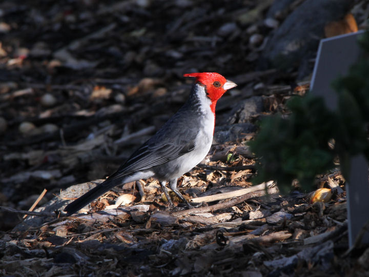 Red-crested Cardinal-IMG_5398