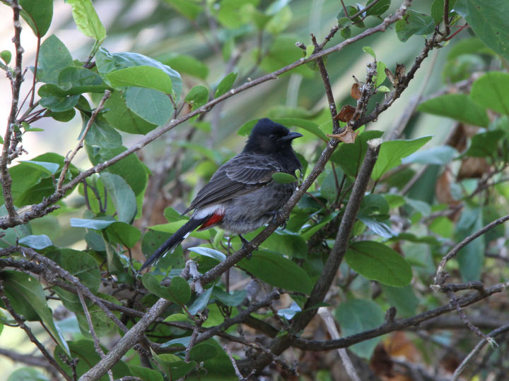 Red-vented Bulbul-IMG_5365