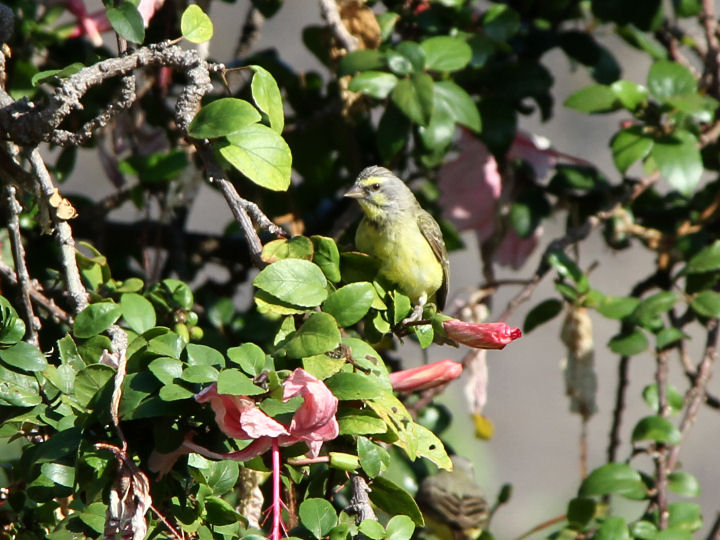 Yellow-fronted Canary-IMG_5320