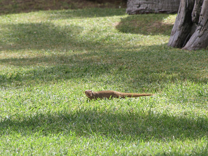 Small Indian Mongoose-IMG_5588
