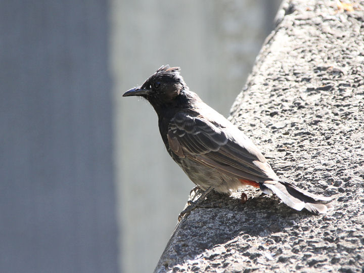 Red-vented Bulbul-IMG_6141
