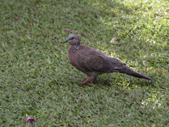 Spotted Dove-IMG_6163