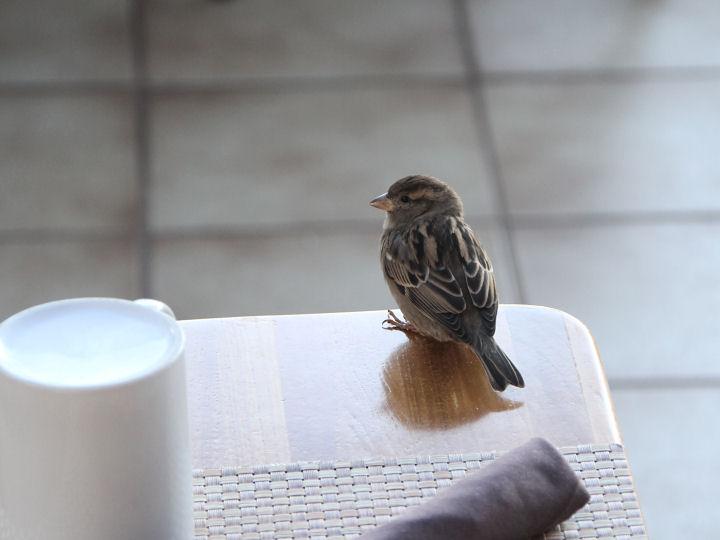 House Sparrow-IMG_6347