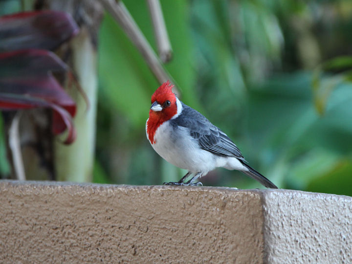 Red-crested Cardinal-IMG_6355
