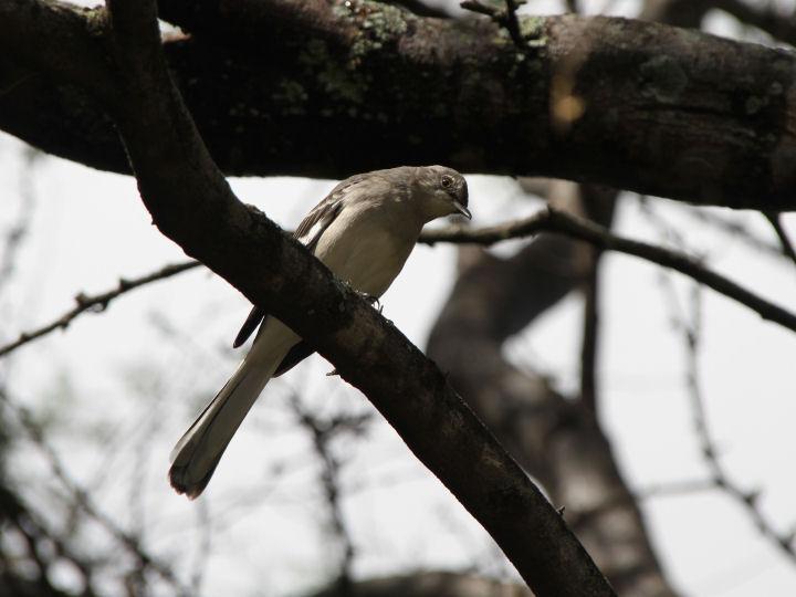 Northern Mockingbird-IMG_6483