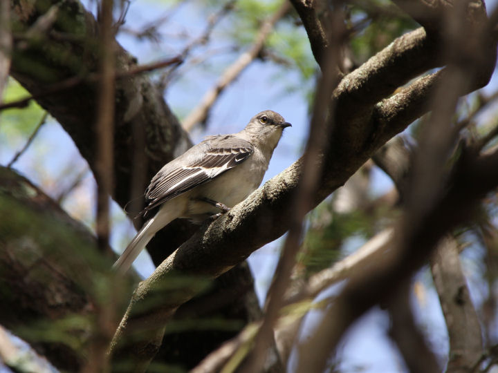 Northern Mockingbird-IMG_6498