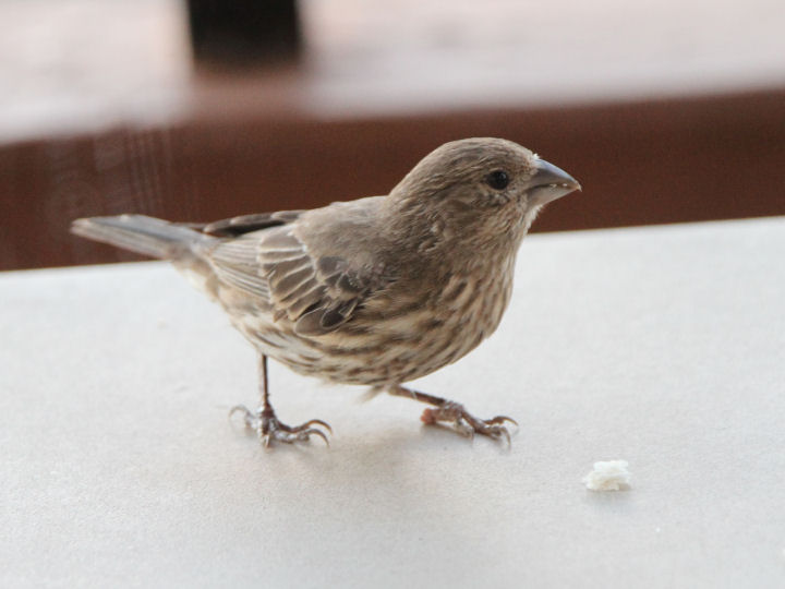 House Finch-IMG_6592