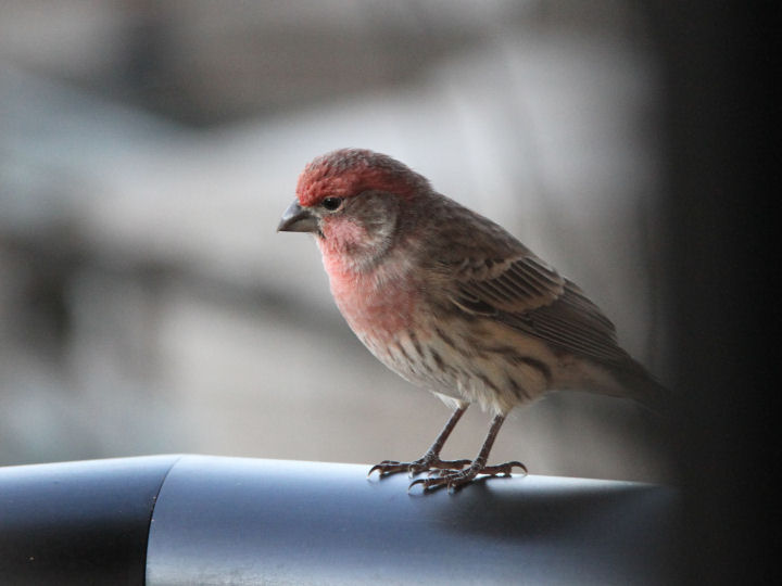 House Finch-IMG_6611