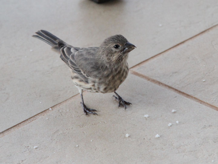 House Finch-IMG_6632