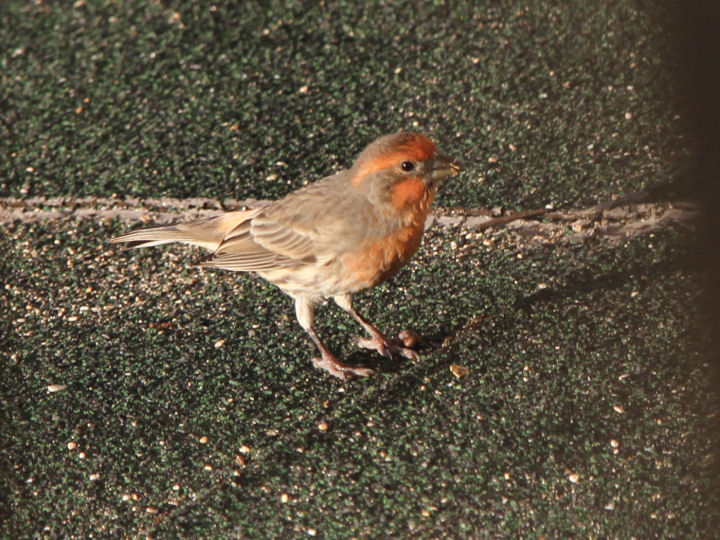 House Finch-IMG_6651
