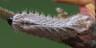 96-オオミドリシジミ幼虫6mm-IMG_4351