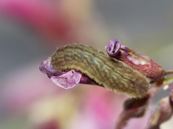 ウラナミシジミ幼虫8mm-IMG_7147
