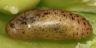 96-ウラナミシジミ蛹-IMG_7317