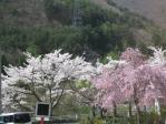 会津鉄道沿線の桜
