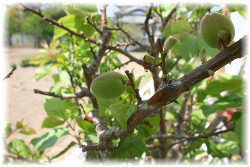 2011年の杏の木