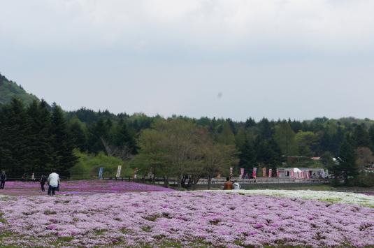 富士芝桜 開花