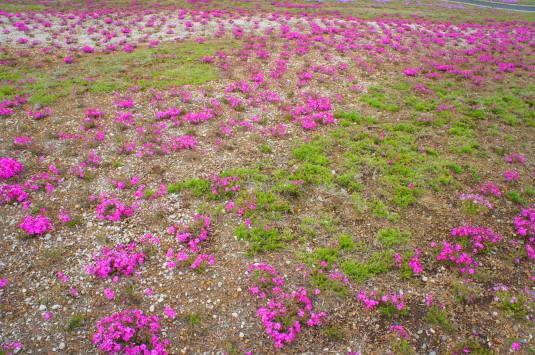 富士芝桜 開花状態