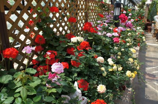バラの花 ハイジの村 屋内