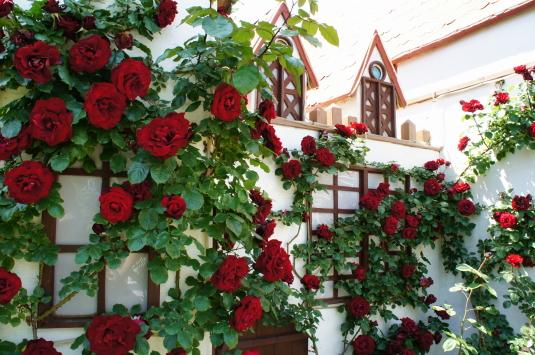 バラの花 ハイジの村 鐘つき堂