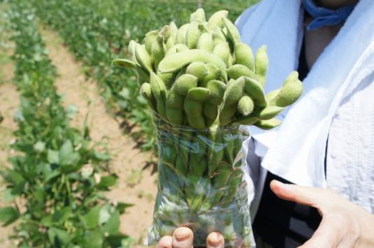 明野ひまわり 枝豆