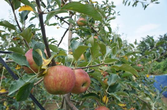 ひまわり畑 リンゴ園
