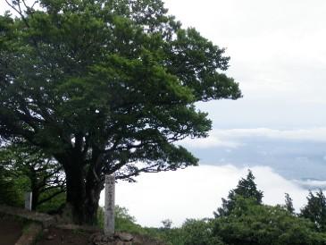 大山雨降りの木20100620JPG