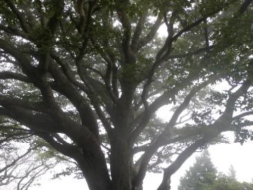 雨振りの木100905
