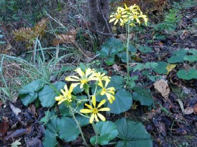 赤碕岳の花101205