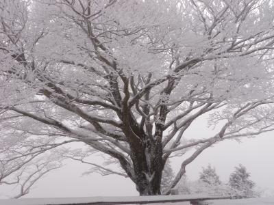 雨降りの木の樹氷110212