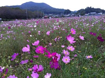 20121014巾着田のコスモス
