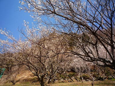 梅の花咲く早春の山麓