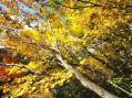 平ヶ岳カエデ黄葉