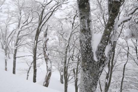 雪のブナ林1