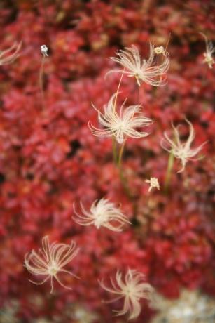 チングルマの秋穂