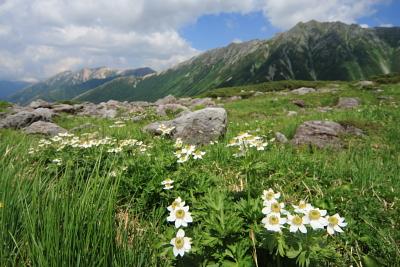 ハクサンイチゲと水晶岳