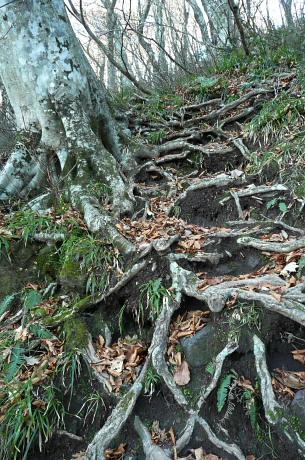 ブナの根がからむ登山道