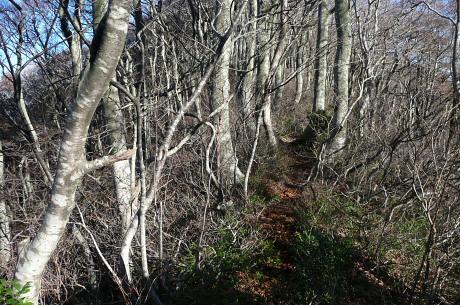 下宝珠越のブナ林