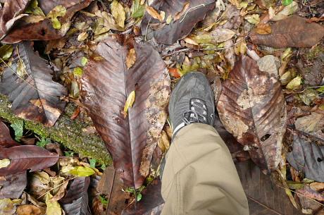 ホオノキの落ち葉