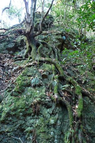 蛇のような根の木