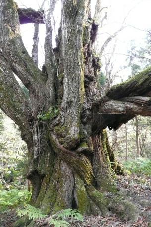 カツラの巨樹