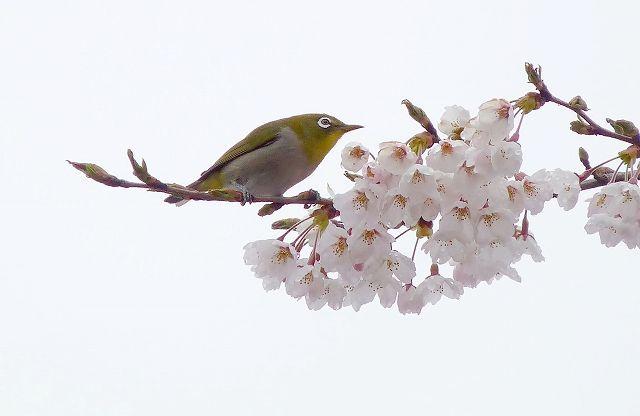 mejiro7.jpg
