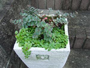 ミセバヤの寄せ植え2