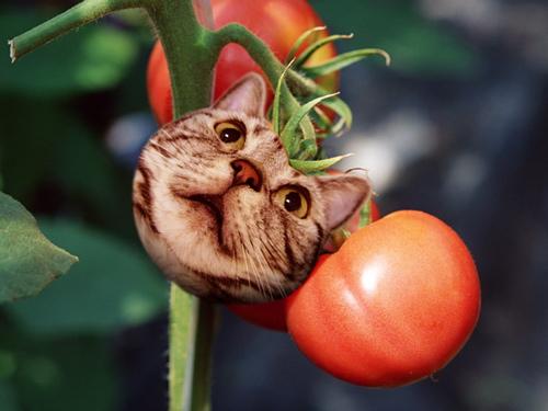 ももトマト
