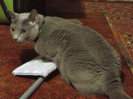 モップ猫1